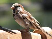 Hawaiisparrow
