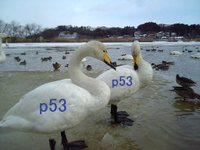 Swan_cygnus