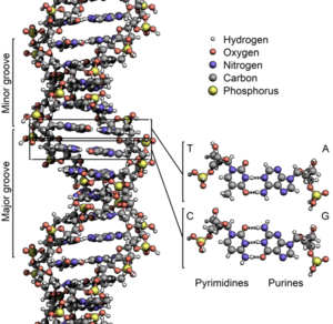 615pxdna_structure2bkey2blabelled_p