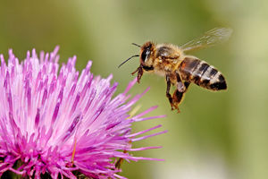 800pxhoneybee_landing_on_milkthistl