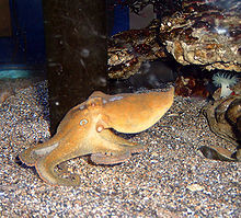 220pxcaliforniatwospotoctopus1