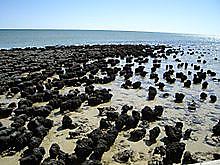 220pxstromatolites_in_shark_bay