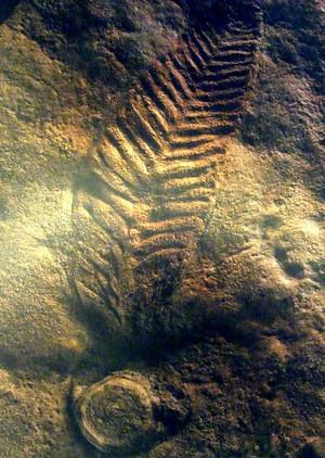 Charniodiscus_arboreus
