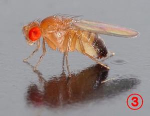 Drosophila_mela