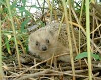 Hedgehogen