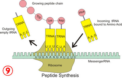 Peptide_syn