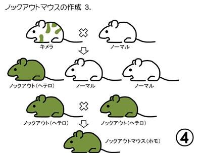 94.ノックアウトマウス: Lecture