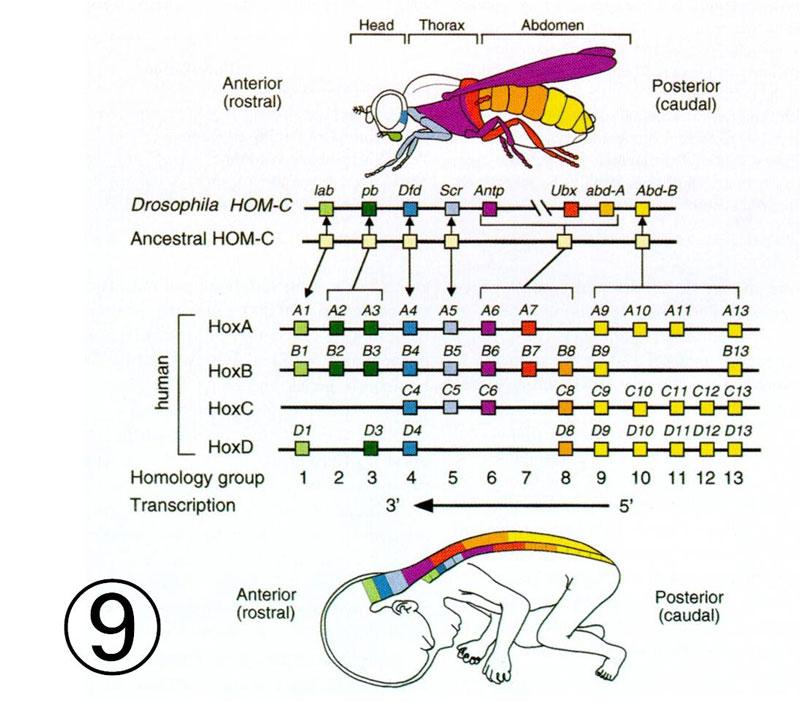 ホメオ ティック 遺伝子