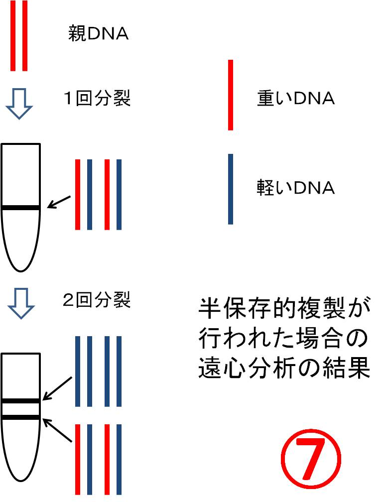 43.DNAの半保存的複製: Lecture